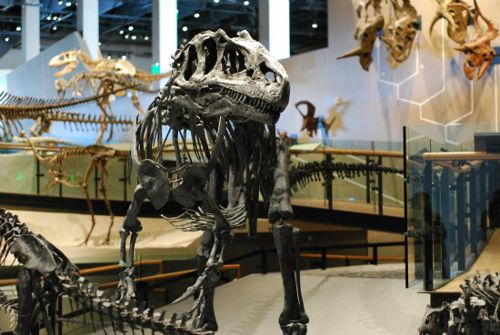 Allosaurus au Natural History Museum of Utah
